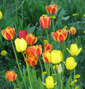 red-and-yellow-tulips-m-p-mahoney