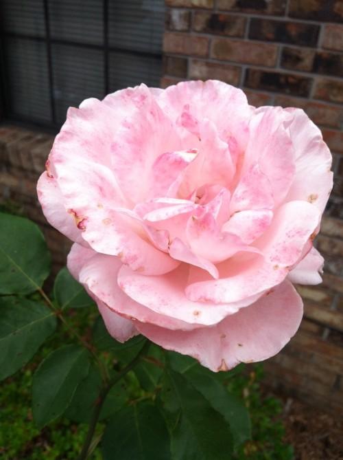 rose may 20